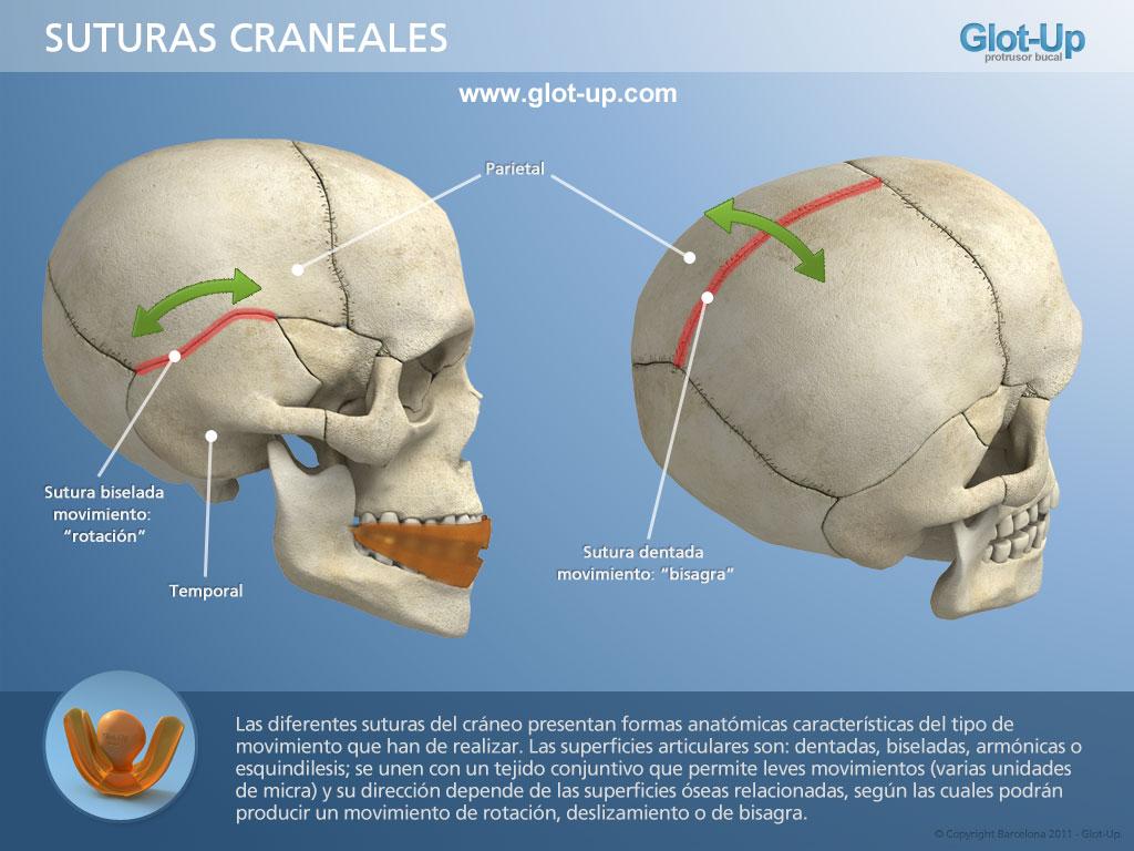 Glot-Up - Movimiento del cráneo